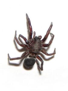 drømme om edderkopper