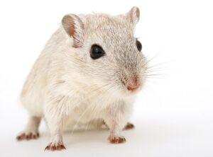 betydningen af drømme om en rotte - drømmetydning rotter som drømmesymbol