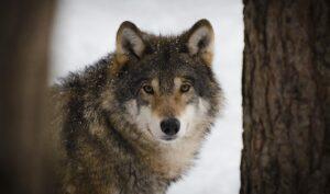betydningen af drømme om ulve - drømmetydning ulv som drømmesymbol